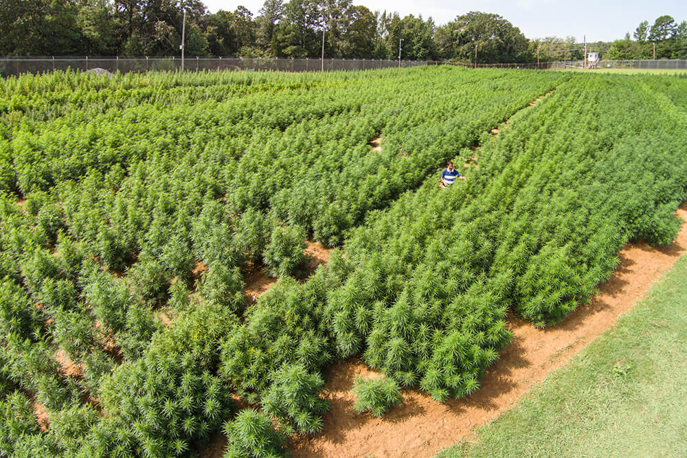 The University of Mississippi's 12-acre farm has been the sole domestic source of cannabis for government-funded and approved research.