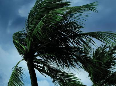 Palm trees whipped by high winds.